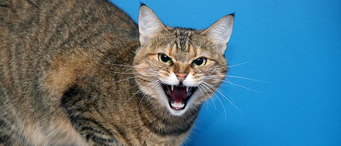 Почему кот шипит