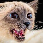Кошка шипит – почему и что делать