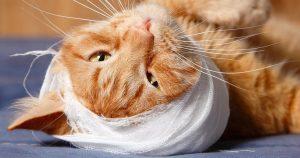 Шишка у кота на шее – как вылечить и почему не нужно паниковать