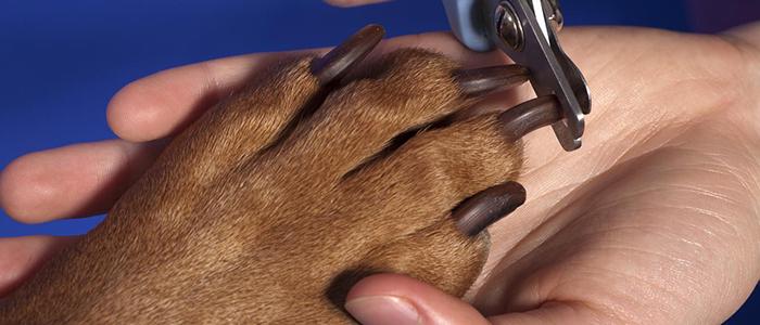 Собака сломала коготь – как его удалить