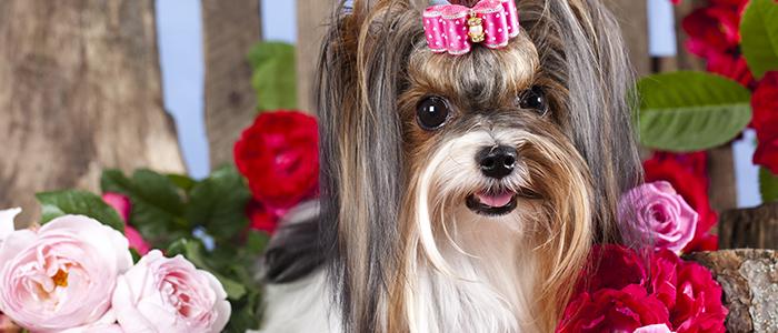 Течка у стерилизованной собаки