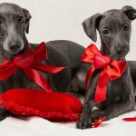 Почему появляется течка у стерилизованной собаки