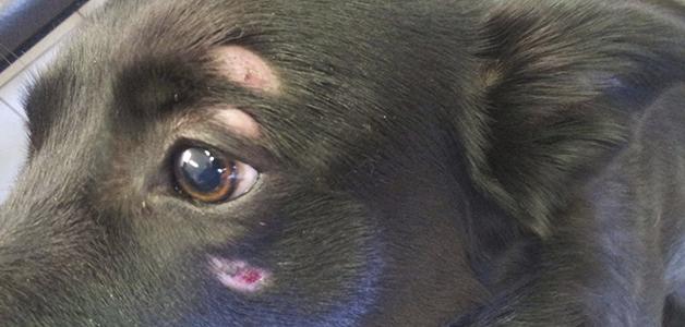 Лечение грибка у собак