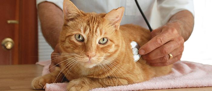 Лейкемия у котов