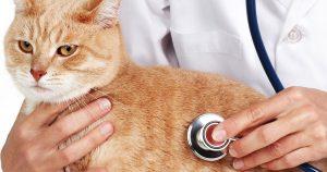 Лейкемия у кошек – причины и лечение