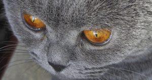 Третье веко у кошки – причины и опасности выпадения