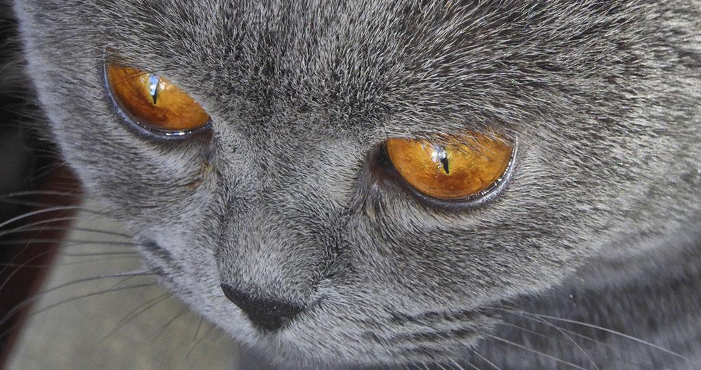 Патологии третьего века у кошек