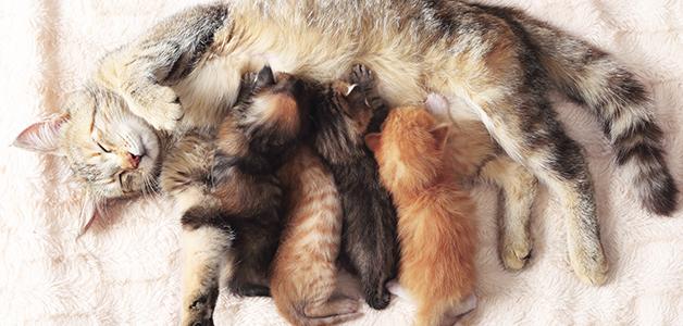 Что делать, если рожает кошка