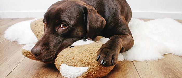 Лейшманиоз у собак