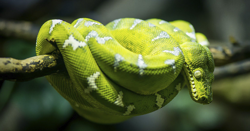 6 самых опасных неядовитых змей