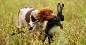 24 охотничьи породы собак, которые помогают человеку