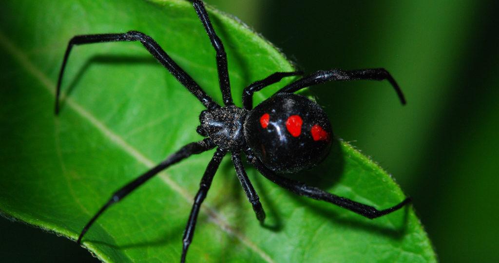 Паук Черная вдова – описание и где обитает