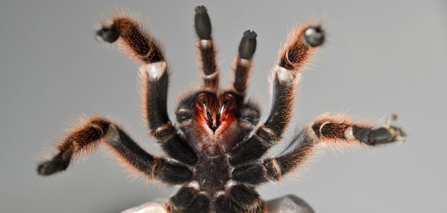 Чем питается тарантул