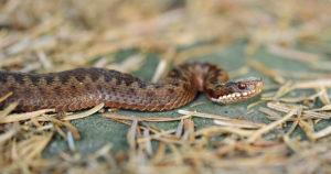 Змеи Ленинградской области – виды и фото